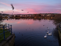 An evening by the lake. (Alex Bryant - Evans) Tags: sunset water nature animals animal birds swan swans lake evening colour sky winter natural life