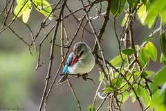 Woodland Kingfisher (Ian.Kate.Bruce's Wildlife) Tags: woodlandkingfisher halcyonsenegalensis alcedinidae treekingfisher bird wildlife nature ianbruce katebruce masaimara kenya africa