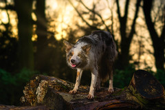 Sunset Collie (FireDevilPhoto) Tags: animal dog nature mammal outdoors forest pets cute brown wildlife looking canine fur tree animalsinthewild sitting domesticanimals carnivore younganimal small bordercollie redmerle sony a9 stf flash godox sunset