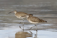 Whimbrels in Lockstep (tomblandford) Tags: whimbrels shorebirds californiabirding nature numeniusphaeopus conservation marchofthewhimbrels protecttheenvironment protectpubliclands protectwildlife wildlifeofthewest wildlife