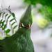 Closeup of Turaco bird in tree, Key West, Florida