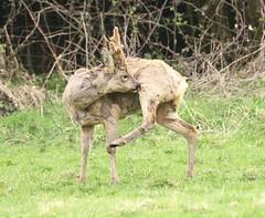 Roe Buck Grooming (glostopcat) Tags: roebuck roedeer deer buck animal mammal wildlife glos april spring