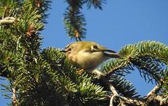 Goldcrest (blue33hibiscus) Tags: bird goldcrest christmastree bluesky garden somerset