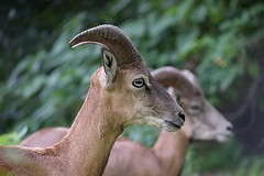 Mountain Goat (qasim.cheema) Tags: nopeople animal mammal photography nature outdoors oneanimal goat wildlife animalwildlife animalsinthewild horned horns bighorns antelope portrait goatswithbighorns