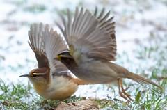 Photo Bombed! (Hayseed52) Tags: birds carolinawren whitethroatedsparrow takeoff virginia winter snow