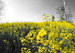 Yellow flowers (maurodom_g80) Tags: colza giallo fiori flowers nature spring sky