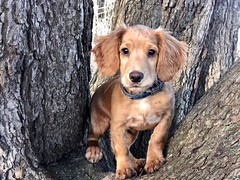 In a tree (The Papa'razzi of dogs) Tags: nature dog whisky puppy