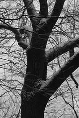 Eiche (shortscale) Tags: schnee schwarzweiss blackandwhite noiretblanc monochrome buw pentax kx smcpentaxm11750mm baum eiche holz