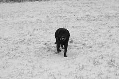 IMGP1704 (shortscale) Tags: schnee schwarzweiss blackandwhite noiretblanc monochrome buw pentax kx smcpentaxm11750mm bruno hund labrador