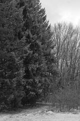 Fichten (shortscale) Tags: schnee schwarzweiss blackandwhite noiretblanc monochrome buw pentax kx smcpentaxm11750mm fichte wald