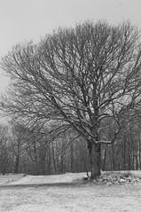 Eiche (shortscale) Tags: schnee schwarzweiss blackandwhite noiretblanc monochrome buw pentax kx smcpentaxm11750mm baum eiche schwäbischealb