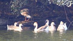Ruddy Shellduck (aka Brahminy duck)