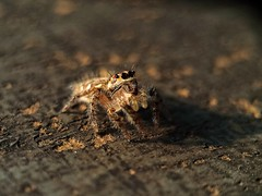Chasing Sunset. (general.lee368) Tags: jumpingspider sunset spider universalmacro macrophotography love