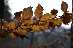 Abendspaziergang im spätherbstlichen Brunsholm - Buchenlaub; Bergenhusen, Stapelholm (18) (Chironius) Tags: stapelholm bergenhusen schleswigholstein deutschland germany allemagne alemania germania германия niemcy laub herbst herfst autumn autunno efteråret otoño höst jesień осень wald forest forêt лес bosque skov las rosids fabids buchenartige fagales buchengewächse fagaceae fagoideae buchen baum bäume tree trees arbre дерево árbol arbres деревья árboles albero rotbuche faia kayın beuken бук bok árvore ağaç boom träd fagus