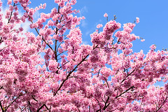 Kodaiji (高台寺) (Flutechill) Tags: kodaiji 高台寺 kodaijitemple sakura cherryblossom kyoto kyotoprefecture nature flower travel traveldestinations tourist kansai japan japaneseculture