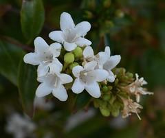 Palo de Asta, Cordia sonorae (Dave Beaudette) Tags: boraginaceae cordiasonorae tucson pimacounty arizona palodeasta