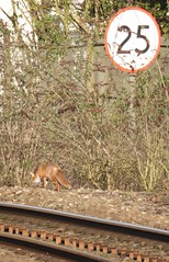 Photo of Fox on the tracks under cover at Cogan