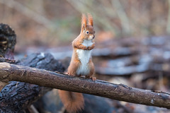 Fighting dwarf (Joachim Dobler) Tags: eichhörnchen eichhoernchen squirrel écureuil ardilla scoiattolo equito nature natur nagetier wildlife animal cute naturephotography squirrellove wildlifephotography bestsquirrel nutsaboutsquirrels cuteanimals