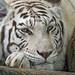 White tigress very close