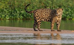 Finally He Stood There ... (AnyMotion) Tags: jaguar pantheraonca onçapintada cat cats katzen katze alastglance jagend water wasser sandbank 2019 anymotion sãolourençoriver pantanal matogrosso brazil brasilien southamerica südamerika américadosul travel reisen animal animals tiere nature natur wildlife 7d2 canoneos7dmarkii jaguarmorninghunt ngc