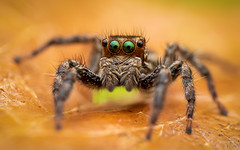 Jumping Spider (djflexkid) Tags: jumpingspider nikon spider micro nature leave things singapore outdoor eyes macro places closeup