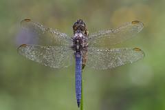 Südlicher Blaupfeil (HelmiGloor) Tags: südlicherblaupfeil segellibellen grosslibellen dragonfly olympusomdem1mkii olympusmzuikodigitaled60mm wildlife macro makro focusstacking focusbracketing schweiz switzerland kantonaargau