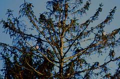 Pigeons, duvor
