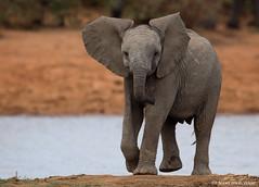 Juvenile African Elephant. (leendert3) Tags: leonmolenaar southafrica krugernationalpark wildlife wilderness wildanimal nature naturereserve naturalhabitat africanelephant mammal coth5