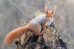 Let your colors glow (Joachim Dobler) Tags: eichhörnchen eichhoernchen squirrel écureuil ardilla scoiattolo equito nature natur nagetier wildlife animal cute naturephotography squirrellove wildlifephotography bestsquirrel nutsaboutsquirrels cuteanimals