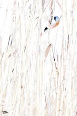 Where? (Stefan Gerrits aka vanbikkel) Tags: finland espoo canon5dmarkiii canonef500mmf4liiusm nature wildlife vanbikkel bird birds viiksitimali partatiainen baardmees beardedreedling reedling beardedtit baardman baardmannen panurusbiarmicus