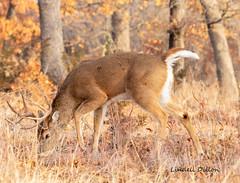 Winter's buck (Lindell Dillon) Tags: buck deer wildlife nature whitetail wichitamountains oklahoma wildoklahoma