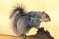 Scritchy Squig (Mrs Airwolfhound) Tags: squirrel animal cute furry sunlight canon 90d