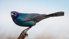 Beautiful Iridescence (tresed47) Tags: 2020 202001jan 20200116indianriverbirds birds boattailedgrackle canon7dmkii content delaware folder grackle indianriverinlet january peterscamera petersphotos places season takenby us winter