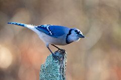 AI1Y4366 (R Goff) Tags: avian birdsofflickr birds feathers wildlife wildlifephotography wildlifephotographer outdoors ef500mmf4lisusm canon1dx canon birding bluejay