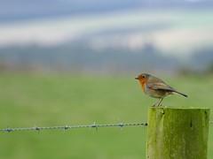 Photo of Robin Redbreast