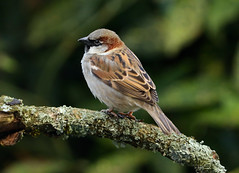 House Sparrow ---- Passer domesticus (creaturesnapper) Tags: sparrows birds uk europe passerdomesticus housesparrow
