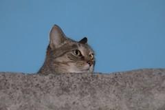 IMG_0366 Cat, Mallorca (Fernando Sa Rapita) Tags: campos canon canonpowershot mallorca powershotsx70hs animal cat gata gatita mascota pet