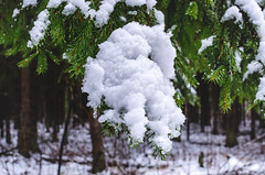 Christmas evergreen spruce with fresh snow in the forest (ivan_volchek) Tags: backdrop background branch christmas closeup cold conifer coniferous cool covered december decoration evergreen farm fir flora forest frost frosty frozen green holiday ice icicle january landscape leaves natural nature needle outdoor outside park pine season seasonal silver snow snowfall snowy sprig spruce tradition tree weather white wilderness winter woods