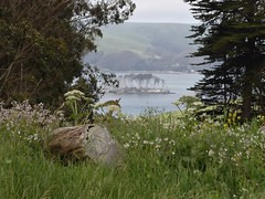 California, Pt. Reyes National Seashore, Tomales Point Trail (Mary Warren 14.7+ Million Views) Tags: california pointreyes nature flora water bay landscape island tress plants green leaves foliage blooms blossoms flowers