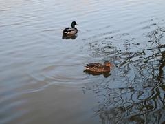 ducks at the harbour (hage.devries) Tags: water wasser duck ente enten ducks mirroring spiegelung harbour hafen