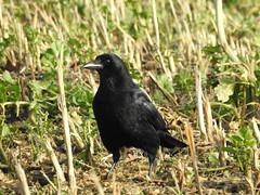 DSCN6868 (Kellerelb) Tags: tier animal vogel bird krähe crow