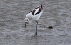 American Avocet (1krispy1) Tags: recurv americanavocet texasbirds