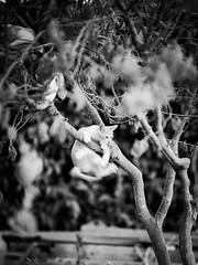 GFX1853 - Tree climber (Diego Rosato) Tags: tree climber albero scalatore luke giardino garden gatto cat kitten gattino animal animale pet bianconero blackwhite fuji gfx50r fujinon gf110mm rawtherapee