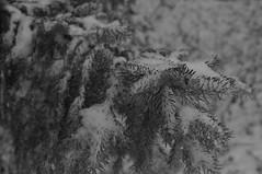 Nadeln (shortscale) Tags: schnee schwarzweiss blackandwhite noiretblanc monochrome buw pentax kx smcpentaxm11750mm tanne fichte nadel