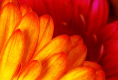 Radiate (L@nce (ランス)) Tags: flower flowers petal orange red macro micro nikon nikkor victoria canada bokeh
