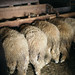 Five sheep photographed from behind while eating