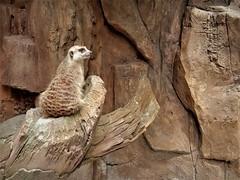 the meerkat (SM Tham) Tags: asia southeastasia malaysia perak ipoh tambun thelostworldoftambun pettingzoo animal meerkat furry cute adorable monochrome