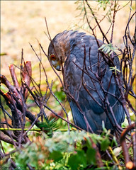Cooper's Hawk (Accipiter cooperii) (Steve Arena) Tags: coopershawk accipiter accipitercooperii coha raptor wachusettview 2019 nikon d750 westborough westboro worcestercounty massachusetts
