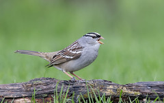 White-crowned Sparrow. (mandokid1) Tags: canon 5dmk1v ef600mm11 birds sparrows