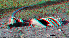 Hyena-food Diergaarde Blijdorp 3D (wim hoppenbrouwers) Tags: diergaarde blijdorp 3d zoo anaglyph stereo redcyan hyenafood food dead animal